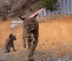Bobcat image